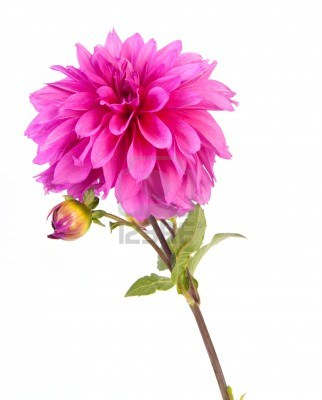 10897140-alone-pink-dahlia-flower-on-white-background ...